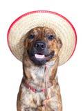 Un perro de plott brindled que desgasta un sombrero Fotografía de archivo libre de regalías
