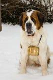 Un perro de St Bernard con un barril Fotografía de archivo libre de regalías