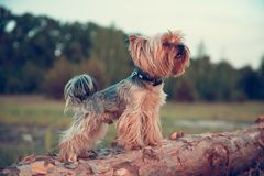 Un perro de un terrier de Yorkshire camina a lo largo de un tronco de ?rbol y explora valeroso el mundo del bosque salvaje imagen de archivo