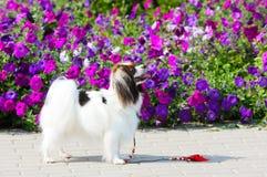 Un perro de una raza caida se coloca en un fondo de flores púrpuras Un perrito blanco está presentando al lado de una cama de flo Fotos de archivo