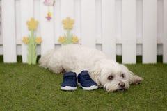 Un perro del bichon que se sienta en la hierba que guarda un par de zapatos foto de archivo libre de regalías