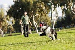 Juguete de cogida de la bola del perro del border collie en el parque Foto de archivo