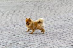 Un perro del perro de Pomerania de la raza corre a lo largo de la acera imágenes de archivo libres de regalías