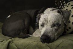 Un perro del pitbull duerme pacífico en un sofá Fotografía de archivo