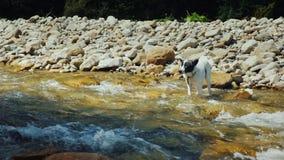Un perro desamparado se coloca en el agua, asustada de cruzar el río almacen de metraje de vídeo