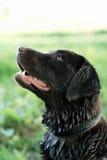 Un perro después de nadar en un río Fotografía de archivo