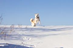 Un perro divertido de la raza del inu de Akita del japonés está saltando en una nieve acumulada por la ventisca en invierno en un Fotos de archivo libres de regalías