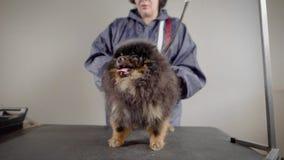 Un perro dulce y tranquilo espera hasta el groomer hará su pelo, cortó exceso de las lanas, ajuste de sus clavos almacen de video