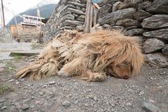 Un perro en el pueblo de Nepal, paisaje en el circuito de Annapurna, emigrando Imágenes de archivo libres de regalías