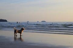 Un perro en la playa de la puesta del sol Foto de archivo