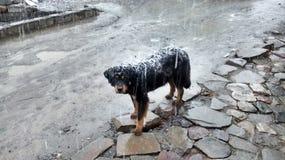 Un perro en nevadas Foto de archivo