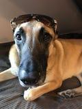 Un perro en retrato Fotografía de archivo libre de regalías