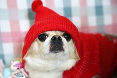 Un perro en un sombrero rojo Fotos de archivo