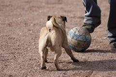 Un perro ese amores para jugar a fútbol Imágenes de archivo libres de regalías