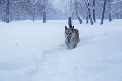 Un perro está caminando en una nieve Imagen de archivo