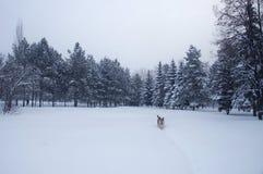 Un perro está caminando en una nieve Imagenes de archivo