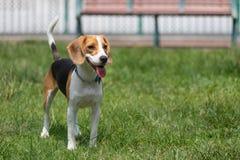 Un perro feliz del beagle que jadea con una lengua larga en un parque del perro fotografía de archivo