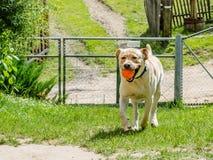 Un perro feliz hermoso de Labrador, jugando y descansando en el verano Foto de archivo libre de regalías