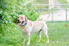 Un perro feliz hermoso de Labrador, jugando y descansando en el verano Fotos de archivo libres de regalías