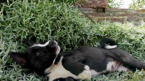 Un perro fornido de la raza se juega con un anfitri?n de la hierba alta El concepto de cuidar para los animales y los juegos con  almacen de video