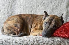 Un perro grande miente en un sofá beige suave con una almohada roja fotografía de archivo libre de regalías