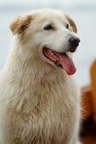 Un perro húmedo con la piel blanca/de color naranja imágenes de archivo libres de regalías