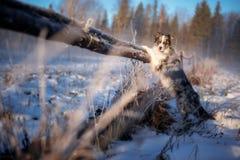 Un perro hermoso de la raza del border collie se coloca en sus piernas traseras en invierno foto de archivo