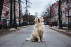 Un perro hermoso, lindo del golden retriever que se sienta en una acera en un parque en un día de invierno nublado fotos de archivo libres de regalías