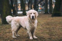 Un perro hermoso, lindo y mimoso del golden retriever que se coloca en un parque en un día de invierno nublado imagen de archivo libre de regalías