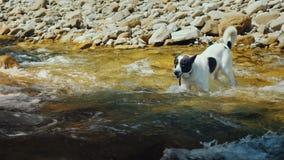 Un perro intenta nadar a través de las aguas tempestuosas de un río de la montaña almacen de metraje de vídeo