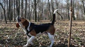 Un perro joven del bigl en un parque de la primavera