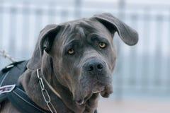 Un perro joven del toro en un paseo de la mañana fotos de archivo libres de regalías