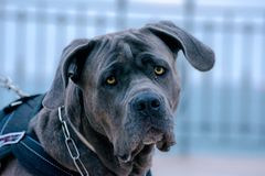 Un perro joven del toro en un paseo de la mañana imagen de archivo libre de regalías