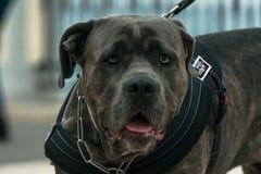 Un perro joven del toro en un paseo de la mañana imagenes de archivo