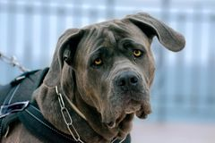 Un perro joven del toro en un paseo de la mañana fotografía de archivo libre de regalías