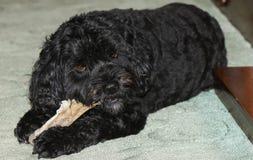 Un perro lindo de Cavapoo también sabido comúnmente por el rey Charles Cavalier Spaniel, Cavoodle y Cavoo del caniche x de los no imagen de archivo