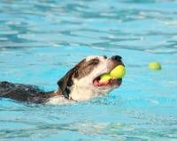 Un perro lindo en una piscina Foto de archivo libre de regalías