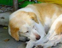Un perro lindo que duerme en el camino rural Fotografía de archivo libre de regalías