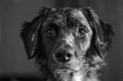 Un perro lindo que mira fijamente mí Fotos de archivo