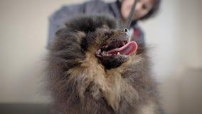 Un perro lindo y divertido está en un balneario moderno para los animales con la lengua hacia fuera, el peluquero peina su peine  almacen de video