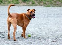 Un perro listo para buscar Imagen de archivo