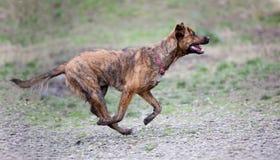 Un perro listo para buscar Fotos de archivo