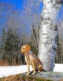 Un perro listo para saltar Imágenes de archivo libres de regalías