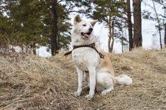 Un perro majestuoso elegante hermoso del inu de Akita del japonés se sienta en el bosque en hierba seca entre los árboles de pino Fotos de archivo