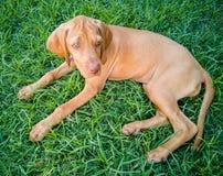 un perro marr?n del vizsla del perrito imagen de archivo libre de regalías