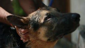 Un perro masculino del pastor alemán del año que tiene un baño del champú