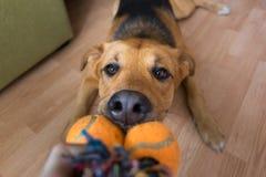 Un perro mezclado rojo de la raza que juega con su dueño en brinca mañana en un cuarto fotos de archivo libres de regalías
