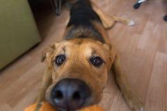 Un perro mezclado rojo de la raza que juega con su dueño en brinca mañana en un cuarto imágenes de archivo libres de regalías