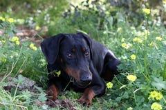 Un perro miente en el campo y come la hierba imágenes de archivo libres de regalías