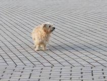 Un perro nacional simple mira atento en una distancia, colocándose en un pavimento de piedra Animales domésticos preciosos y dive imagenes de archivo